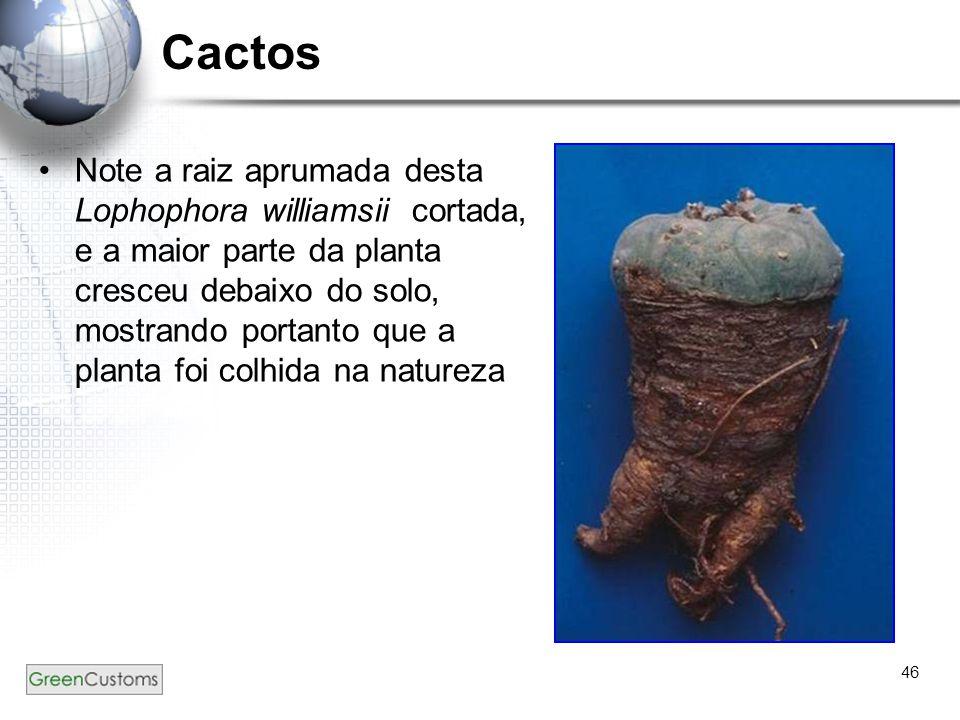 46 Cactos Note a raiz aprumada desta Lophophora williamsii cortada, e a maior parte da planta cresceu debaixo do solo, mostrando portanto que a planta