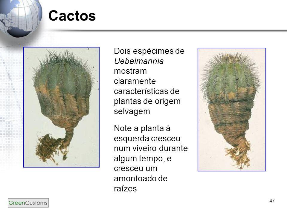 47 Cactos Dois espécimes de Uebelmannia mostram claramente características de plantas de origem selvagem Note a planta à esquerda cresceu num viveiro