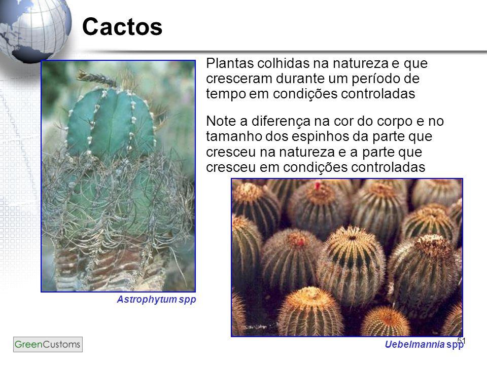 51 Cactos Plantas colhidas na natureza e que cresceram durante um período de tempo em condições controladas Note a diferença na cor do corpo e no tama