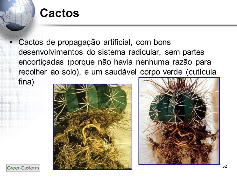 52 Cactos Cactos de propagação artificial, com bons desenvolvimentos do sistema radicular, sem partes encortiçadas (porque não havia nenhuma razão par