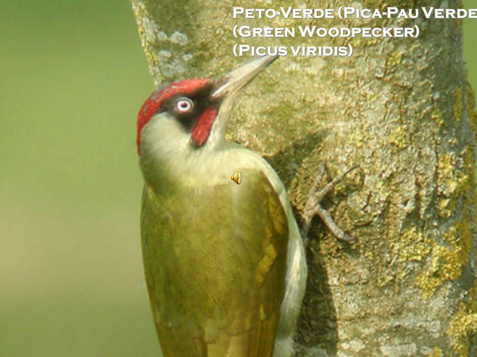 Pardal (Sparrow) (Passer domesticus)