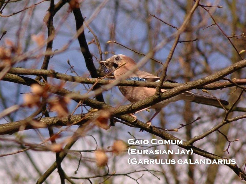 Gaio Comum (Eurasian Jay) (Garrulus galandarius