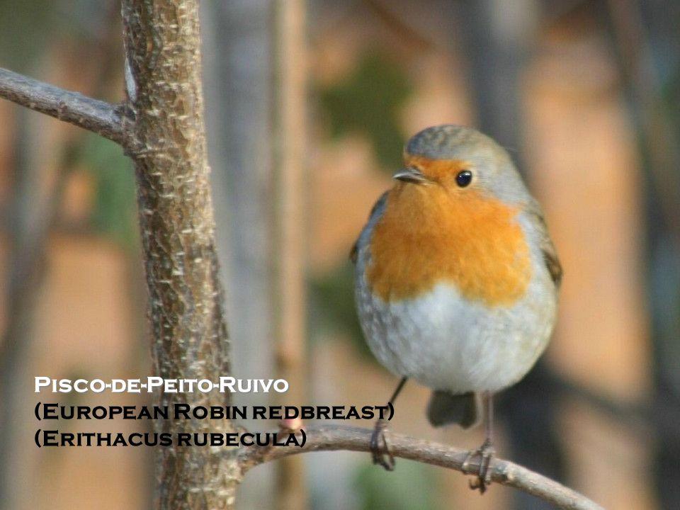 Pisco-de-Peito-Ruivo (European Robin redbreast) (Erithacus rubecula)