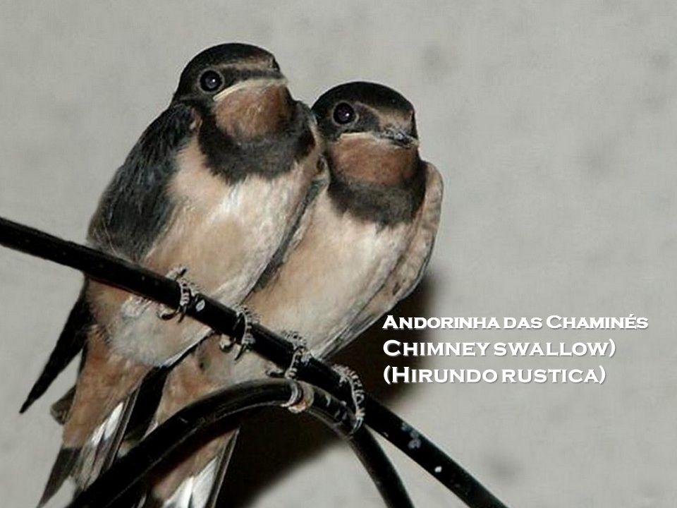 Andorinha das Chaminés Chimney swallow) (Hirundo rustica)
