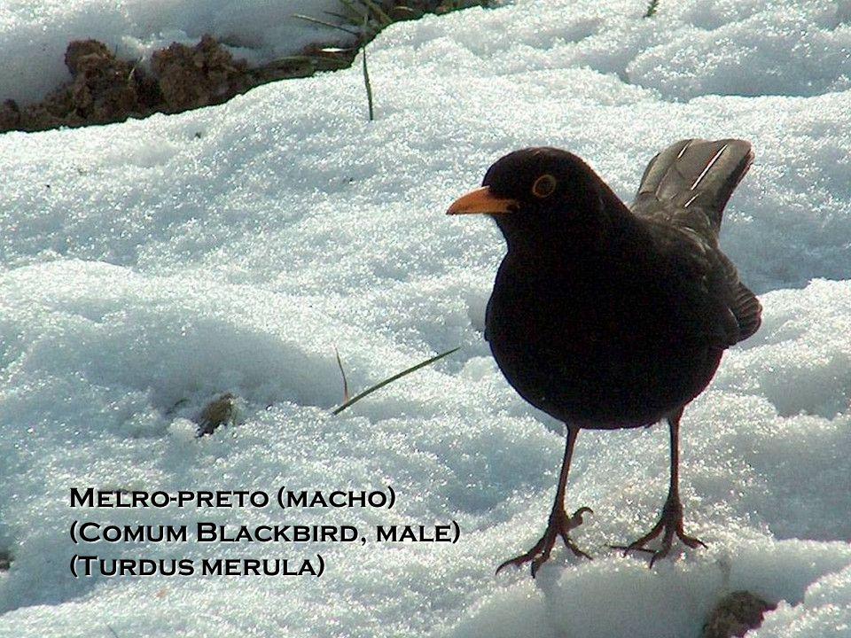 Rouxinol (Nightingale) (Luscinia megarhynchos)