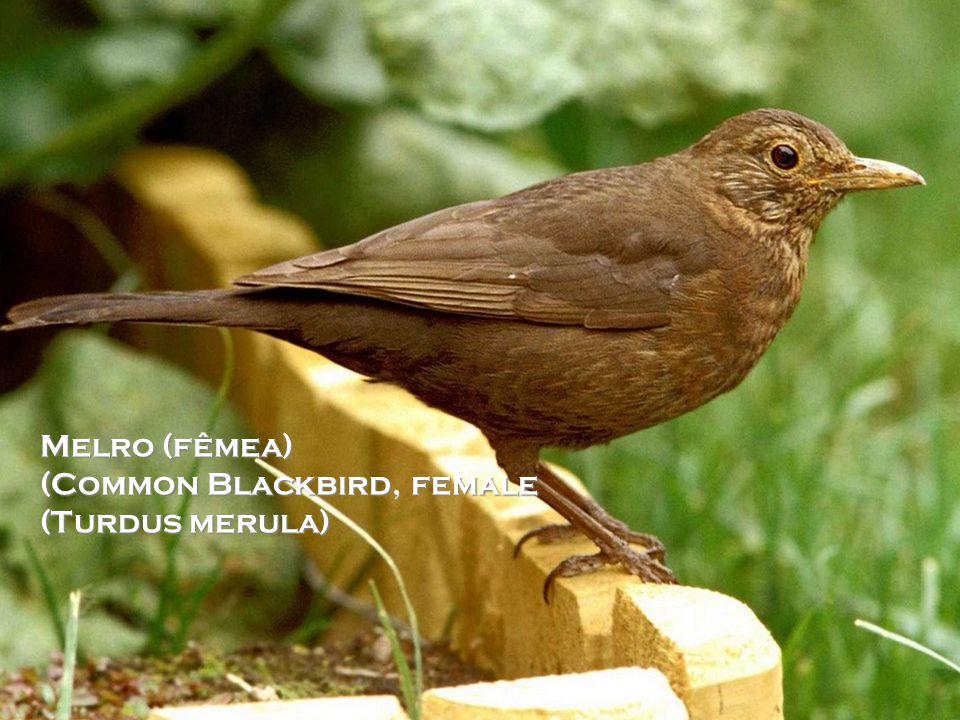 Melro-preto (macho) (Comum Blackbird, male) (Turdus merula)