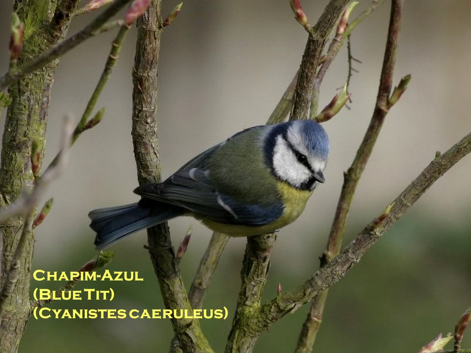 Chapim-Azul (Blue Tit) (Cyanistes caeruleus)