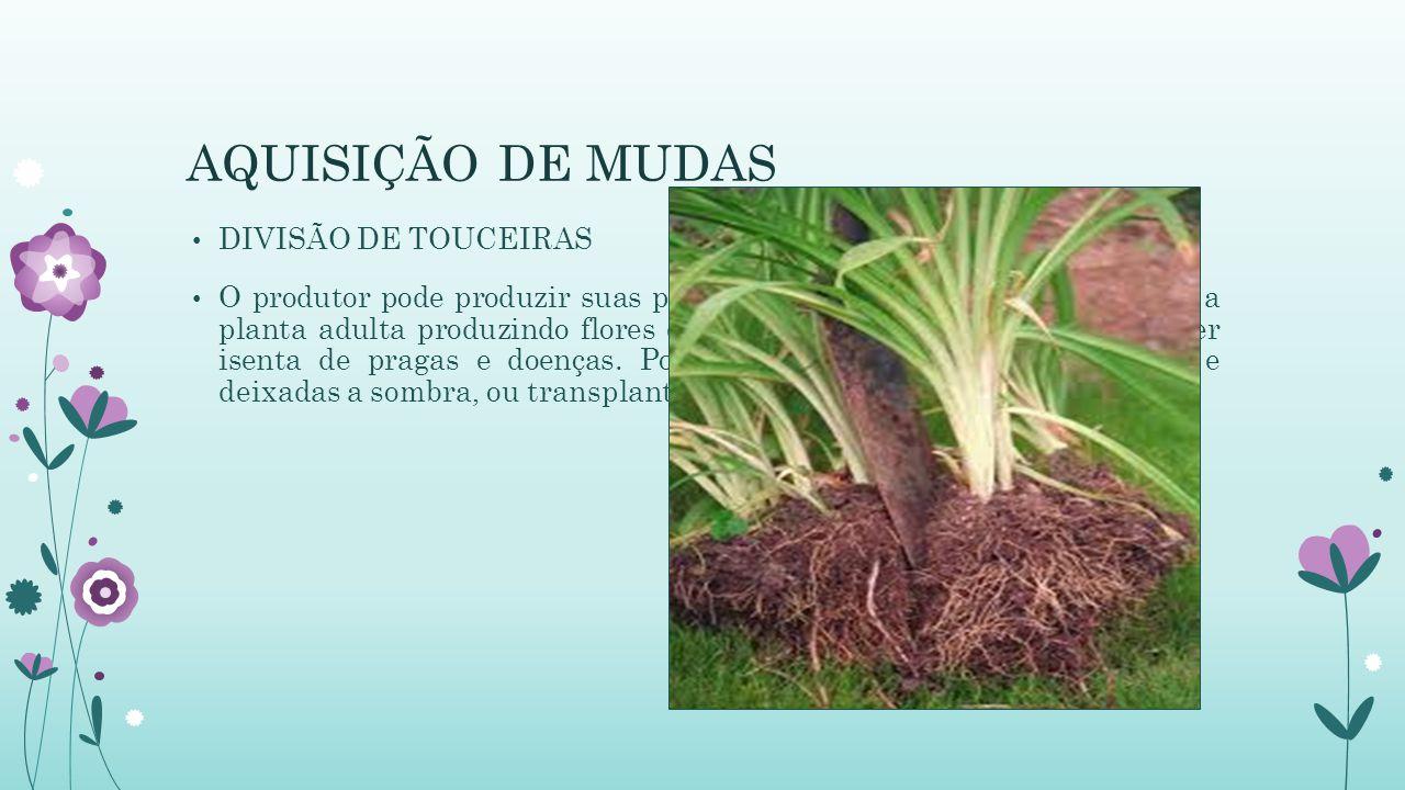 AQUISIÇÃO DE MUDAS DIVISÃO DE TOUCEIRAS O produtor pode produzir suas próprias mudas. O processo é feita com a planta adulta produzindo flores e com m