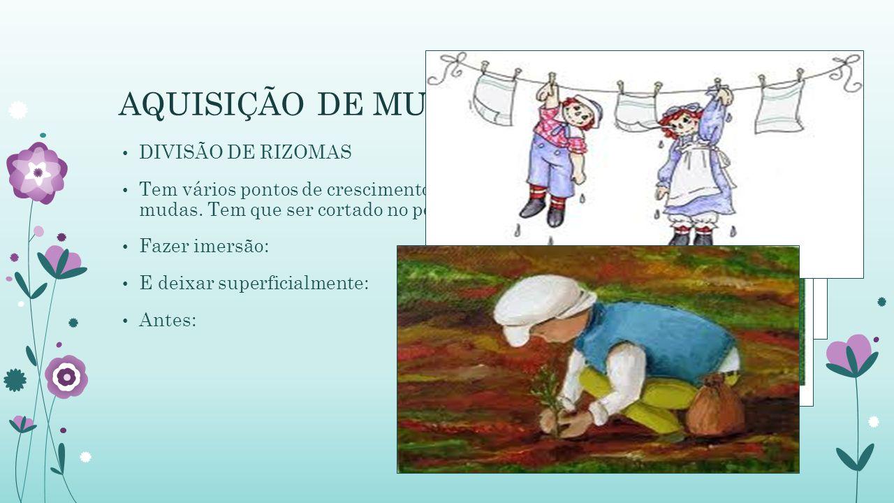 AQUISIÇÃO DE MUDAS DIVISÃO DE RIZOMAS Tem vários pontos de crescimento e pode ser dividido para produção de mudas.