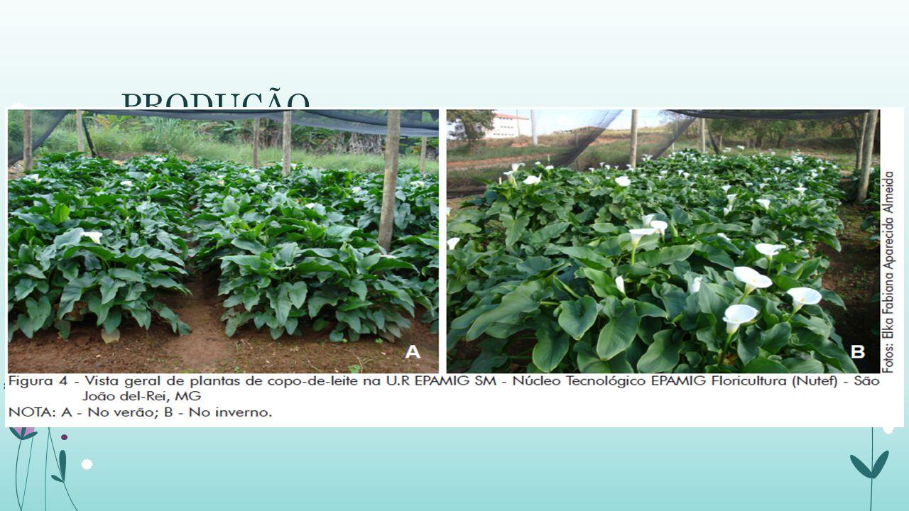 PRODUÇÃO Conforme o tamanho das mudas utilizadas, cerca de 90 dias após o plantio já se inicia a produção das primeiras flores, no entanto, só após ce