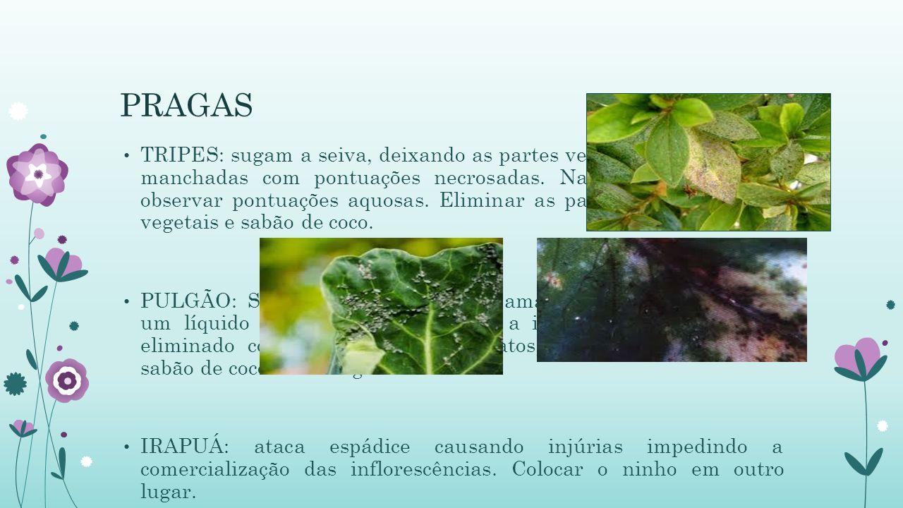 PRAGAS TRIPES: sugam a seiva, deixando as partes vegetais descoloridas e manchadas com pontuações necrosadas.