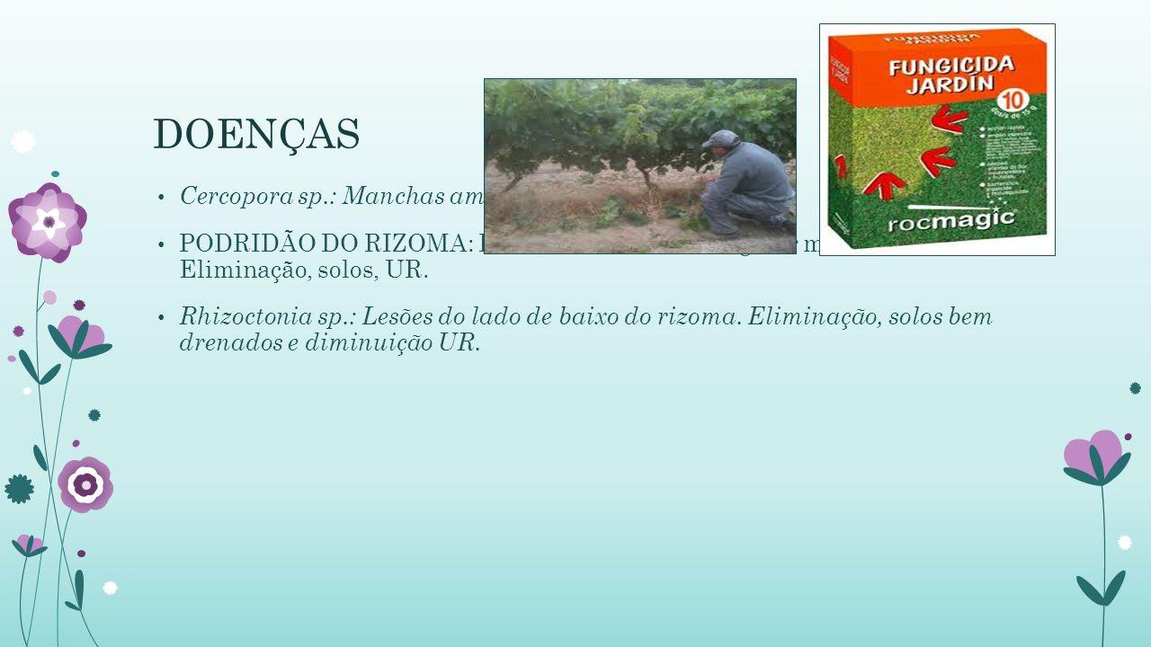 DOENÇAS Cercopora sp.: Manchas amareladas. Retirada das: PODRIDÃO DO RIZOMA: Lesões de tamanho irregular marrom escura. Eliminação, solos, UR. Rhizoct