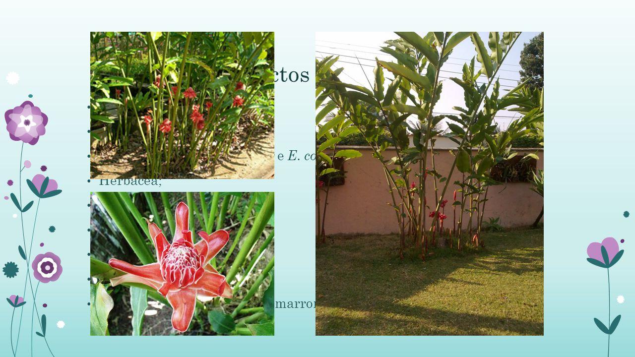 Aspectos Botânicos Origem Asiática; Família: Zingiberacea; Cultivadas: Etlingera elatior e E.