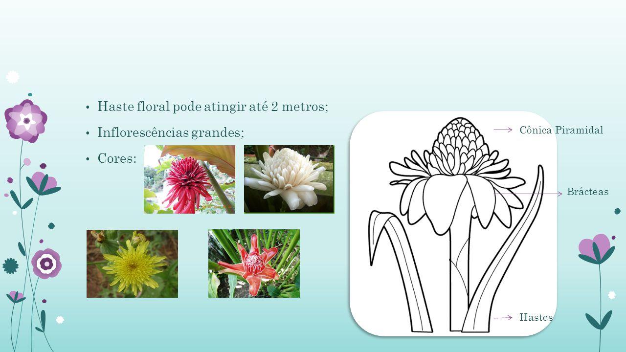 Haste floral pode atingir até 2 metros; Inflorescências grandes; Cores: Cônica Piramidal Hastes Brácteas