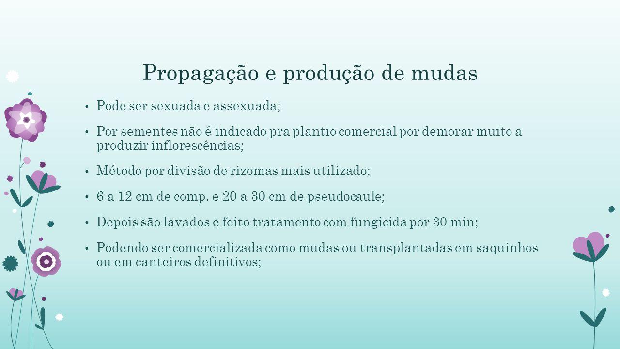 Propagação e produção de mudas Pode ser sexuada e assexuada; Por sementes não é indicado pra plantio comercial por demorar muito a produzir inflorescências; Método por divisão de rizomas mais utilizado; 6 a 12 cm de comp.