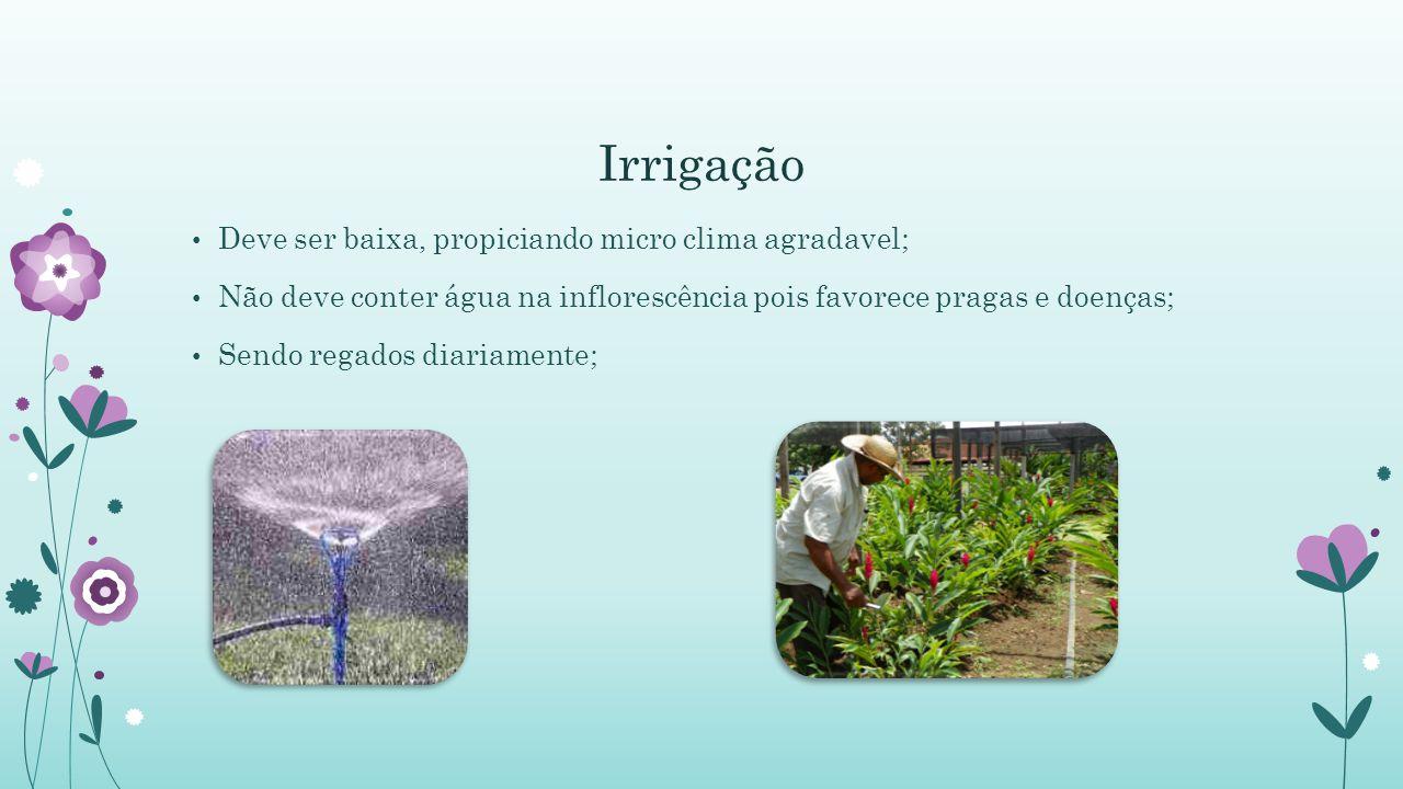 Irrigação Deve ser baixa, propiciando micro clima agradavel; Não deve conter água na inflorescência pois favorece pragas e doenças; Sendo regados diar