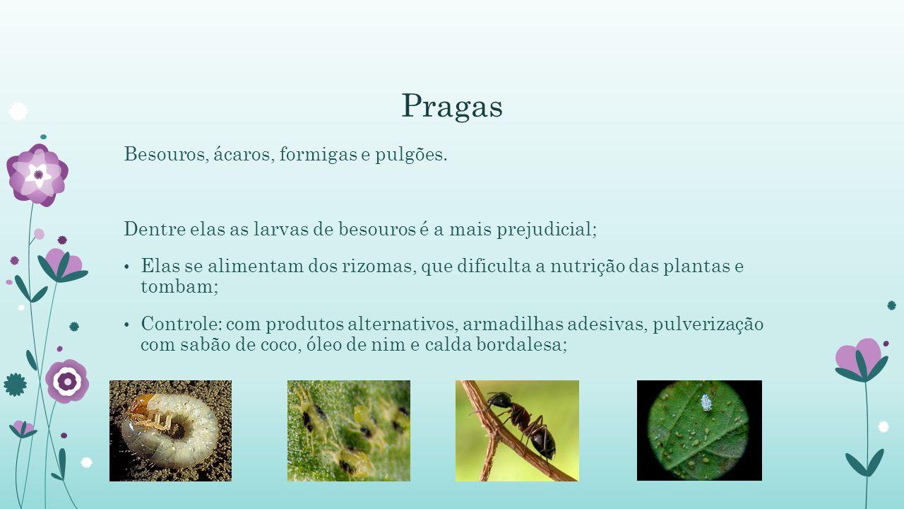 Pragas Besouros, ácaros, formigas e pulgões. Dentre elas as larvas de besouros é a mais prejudicial; Elas se alimentam dos rizomas, que dificulta a nu