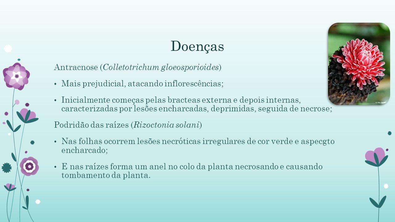 Doenças Antracnose ( Colletotrichum gloeosporioides ) Mais prejudicial, atacando inflorescências; Inicialmente começas pelas bracteas externa e depois internas, caracterizadas por lesões encharcadas, deprimidas, seguida de necrose; Podridão das raízes ( Rizoctonia solani ) Nas folhas ocorrem lesões necróticas irregulares de cor verde e aspecgto encharcado; E nas raízes forma um anel no colo da planta necrosando e causando tombamento da planta.