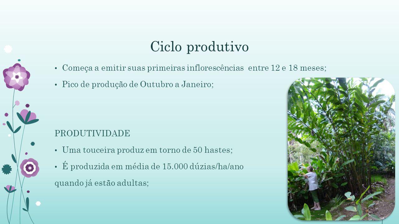 Ciclo produtivo Começa a emitir suas primeiras inflorescências entre 12 e 18 meses; Pico de produção de Outubro a Janeiro; PRODUTIVIDADE Uma touceira produz em torno de 50 hastes; É produzida em média de 15.000 dúzias/ha/ano quando já estão adultas;