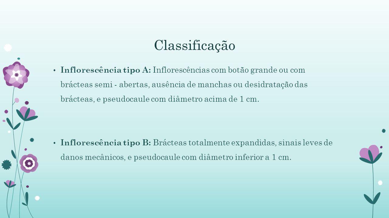 Classificação Inflorescência tipo A: Inflorescências com botão grande ou com brácteas semi - abertas, ausência de manchas ou desidratação das brácteas, e pseudocaule com diâmetro acima de 1 cm.
