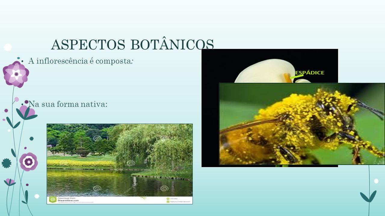 Introdução Perene; Exuberante pela sua forma exótica; Utilizada para paisagismos e corte; As cores e durabilidade tem gerado aumento de produção no Brasil e no Mundo;