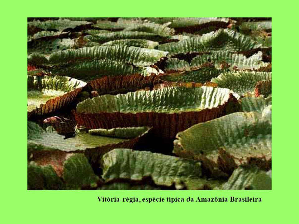 Vitória-régia, espécie típica da Amazônia Brasileira