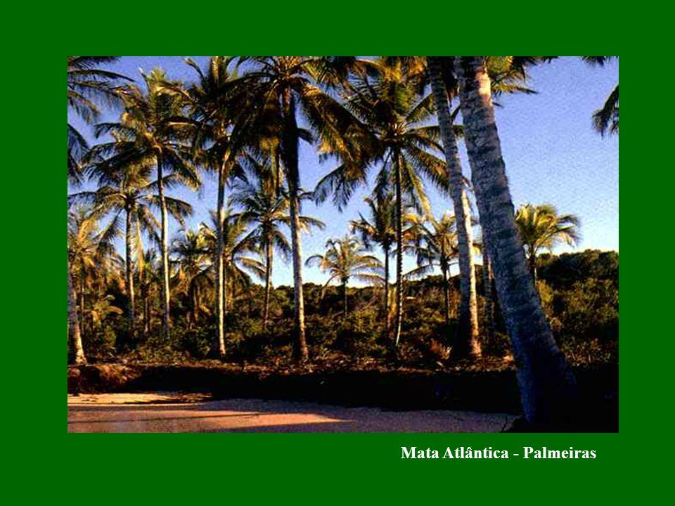 Mata Atlântica - Palmeiras