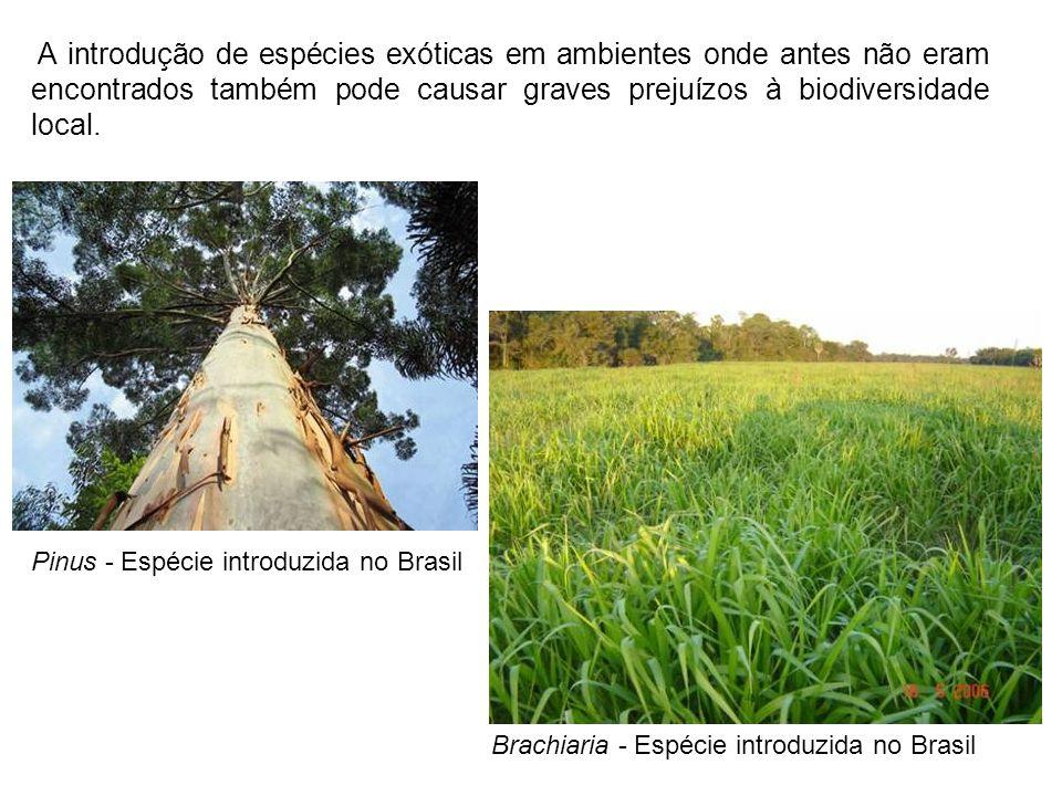 A introdução de espécies exóticas em ambientes onde antes não eram encontrados também pode causar graves prejuízos à biodiversidade local. Pinus - Esp
