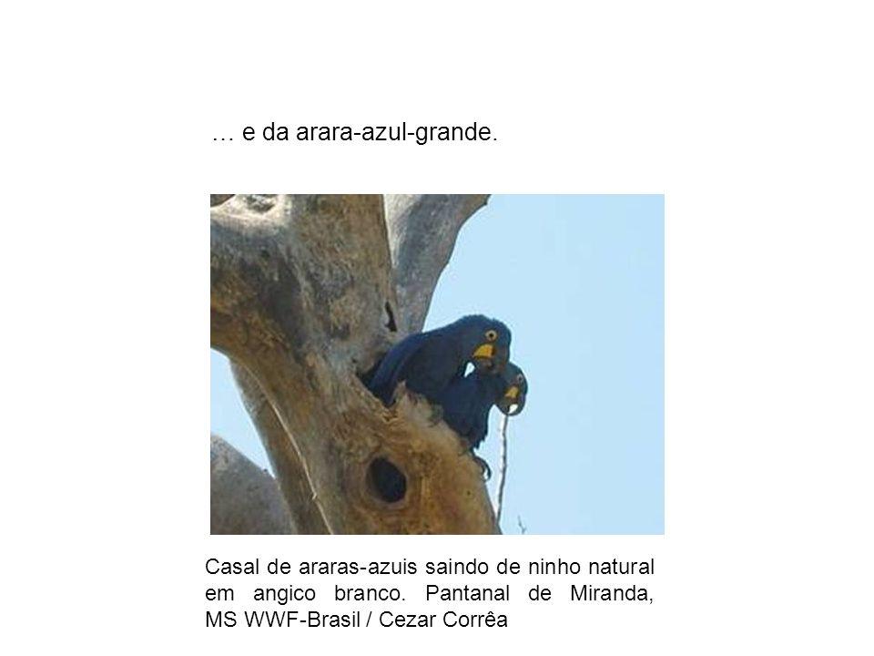 Casal de araras-azuis saindo de ninho natural em angico branco. Pantanal de Miranda, MS WWF-Brasil / Cezar Corrêa … e da arara-azul-grande.