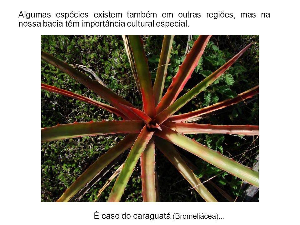É caso do caraguatá (Bromeliácea)... Algumas espécies existem também em outras regiões, mas na nossa bacia têm importância cultural especial.