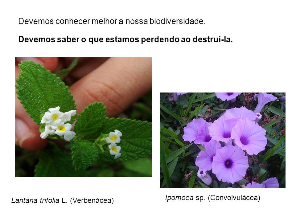Lantana trifolia L. (Verbenácea) Ipomoea sp. (Convolvulácea) Devemos conhecer melhor a nossa biodiversidade. Devemos saber o que estamos perdendo ao d