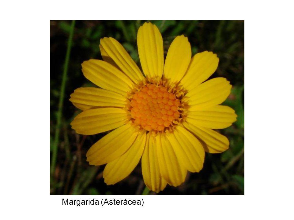 Margarida (Asterácea)