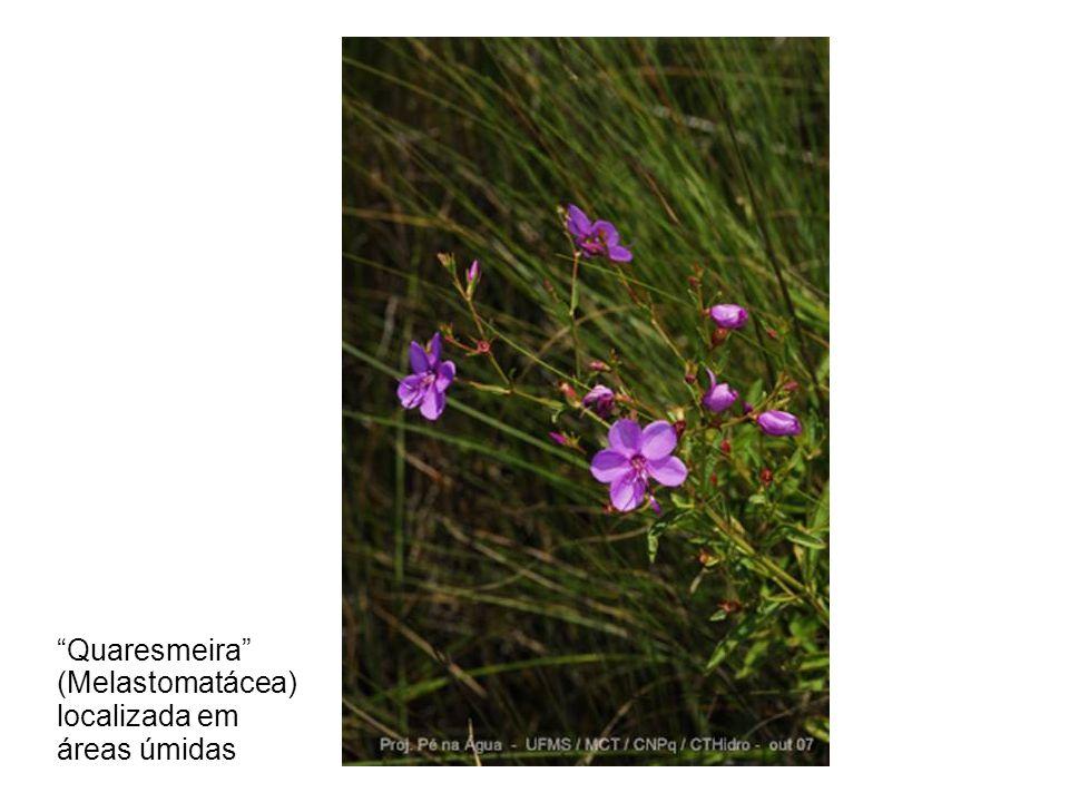 """""""Quaresmeira"""" (Melastomatácea) localizada em áreas úmidas"""