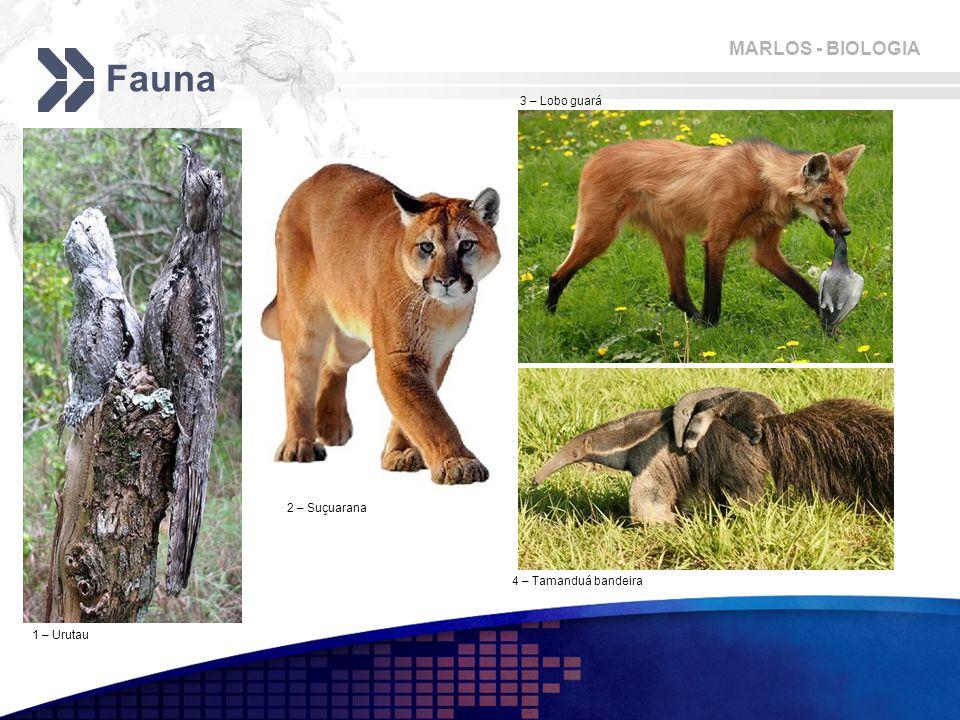 MARLOS - BIOLOGIA Fauna 1 – Urutau 2 – Suçuarana 3 – Lobo guará 4 – Tamanduá bandeira