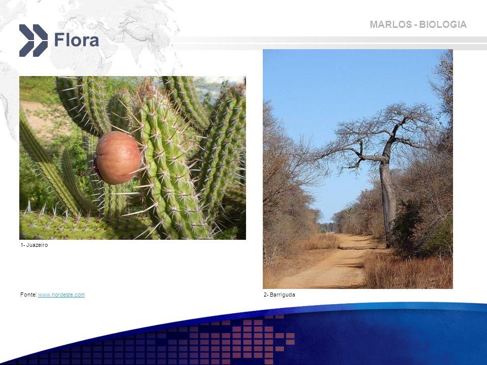 MARLOS - BIOLOGIA Flora Fonte: www.nordeste.comwww.nordeste.com 1- Juazeiro 2- Barriguda