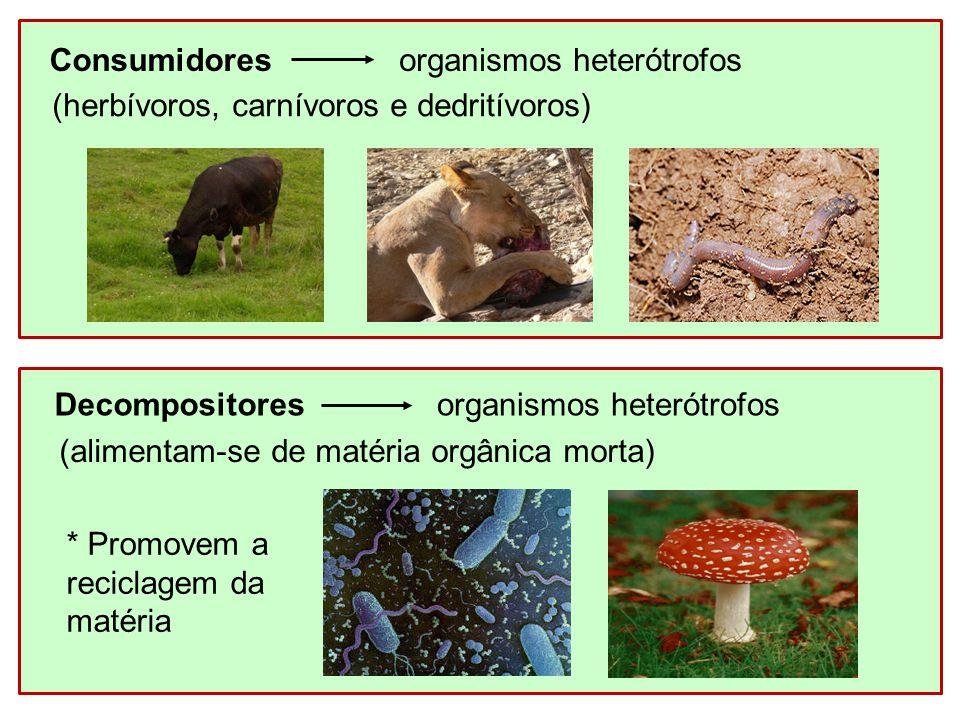 Consumidoresorganismos heterótrofos (herbívoros, carnívoros e dedritívoros) Decompositoresorganismos heterótrofos (alimentam-se de matéria orgânica mo