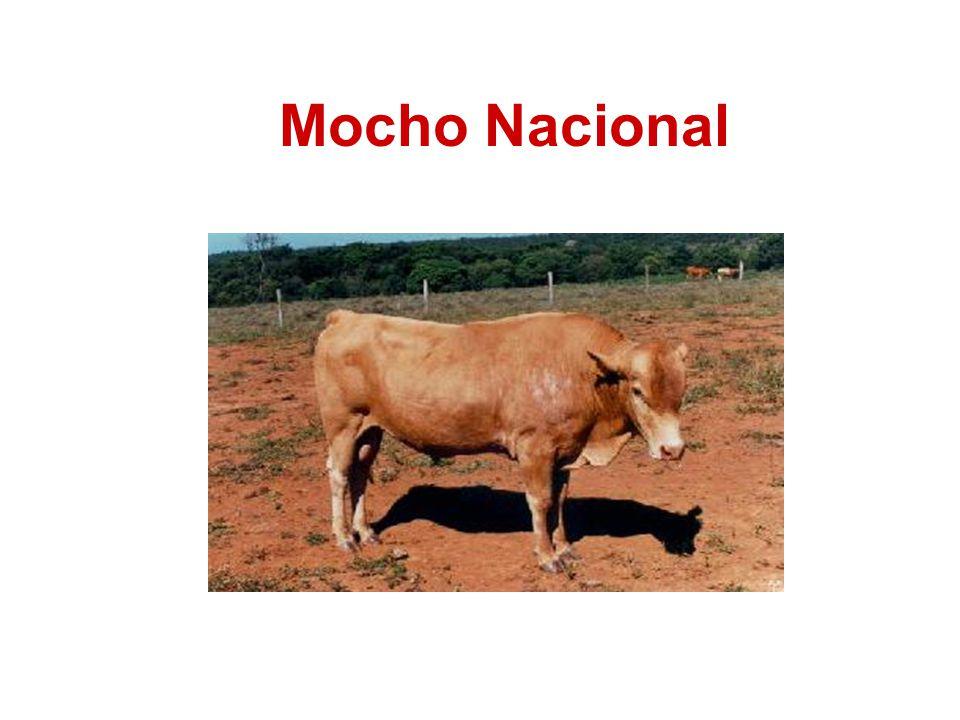 Mocho Nacional