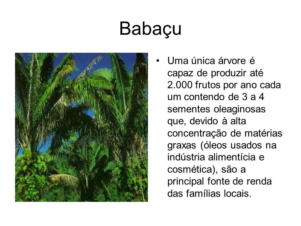 Babaçu Uma única árvore é capaz de produzir até 2.000 frutos por ano cada um contendo de 3 a 4 sementes oleaginosas que, devido à alta concentração de