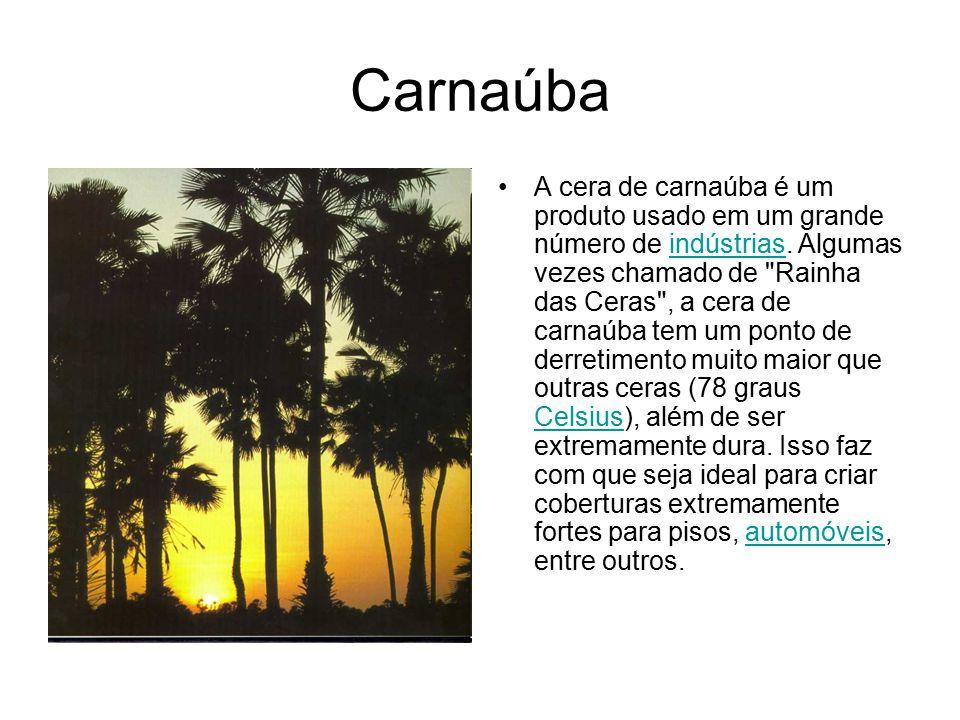 Carnaúba A cera de carnaúba é um produto usado em um grande número de indústrias. Algumas vezes chamado de