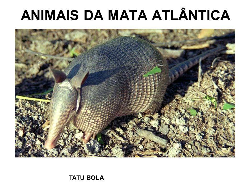 ANIMAIS DA MATA ATLÂNTICA TATU BOLA