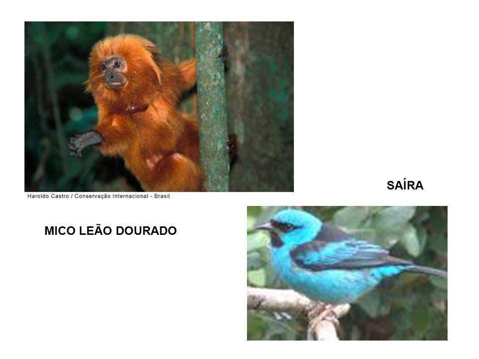 MICO LEÃO DOURADO SAÍRA