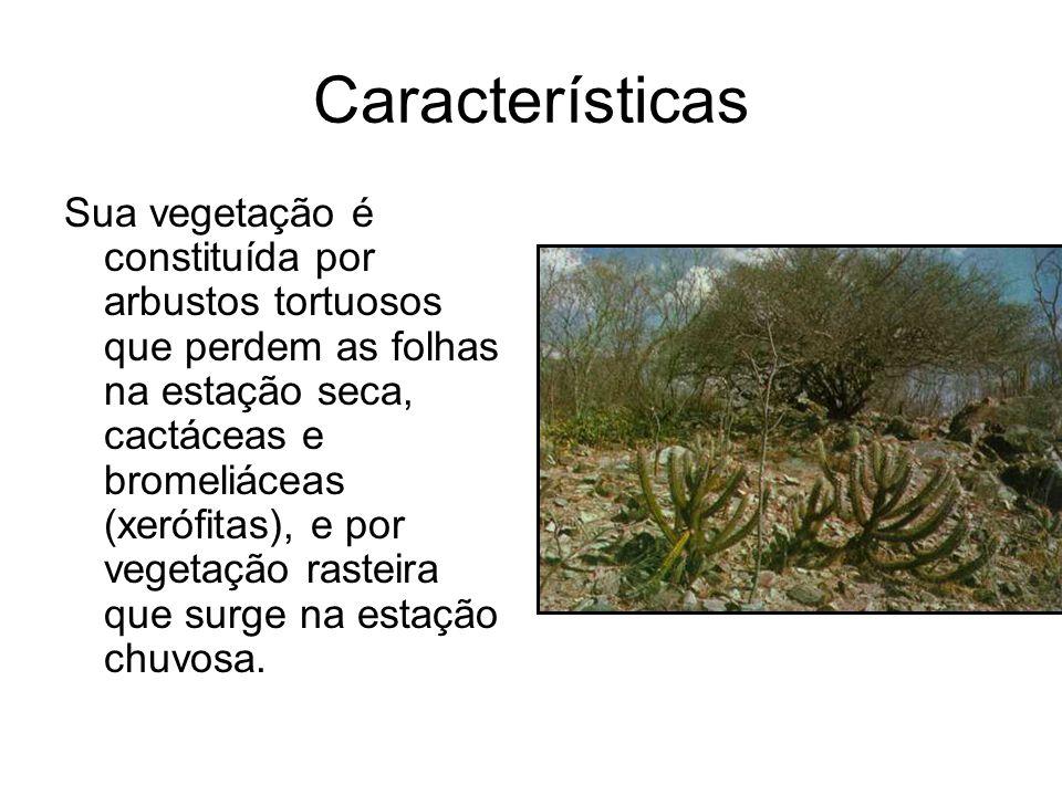 Características Sua vegetação é constituída por arbustos tortuosos que perdem as folhas na estação seca, cactáceas e bromeliáceas (xerófitas), e por v
