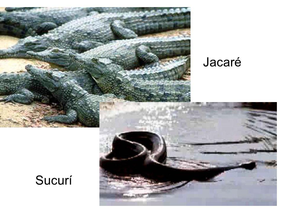 Jacaré Sucurí