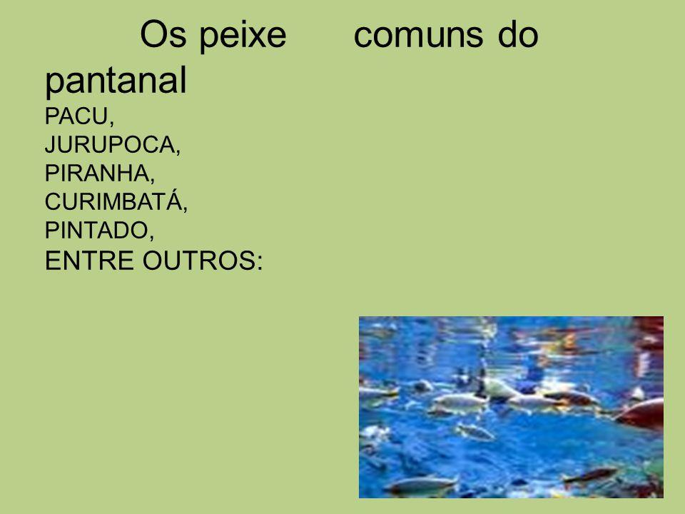 Os peixe comuns do pantanal PACU, JURUPOCA, PIRANHA, CURIMBATÁ, PINTADO, ENTRE OUTROS: