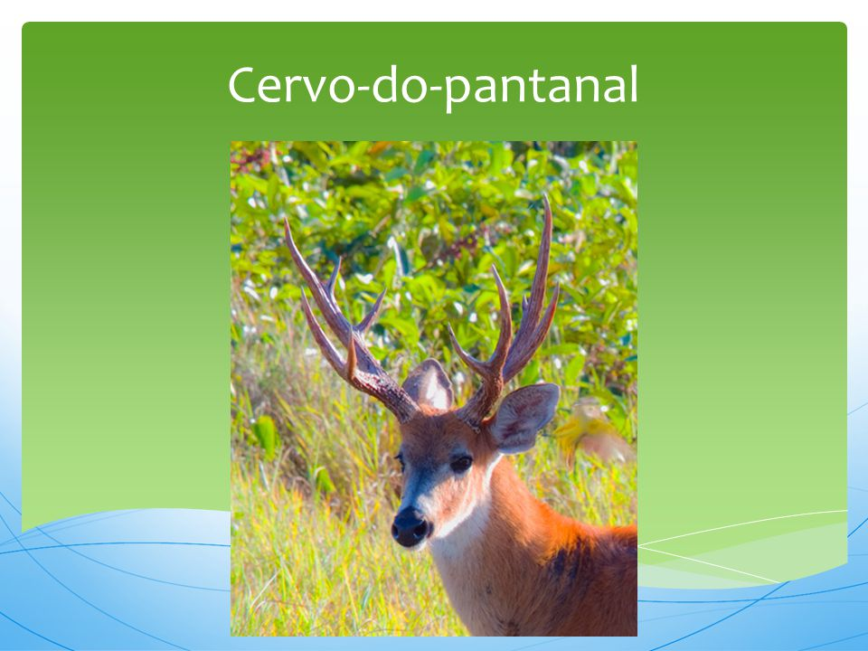 Cervo-do-pantanal