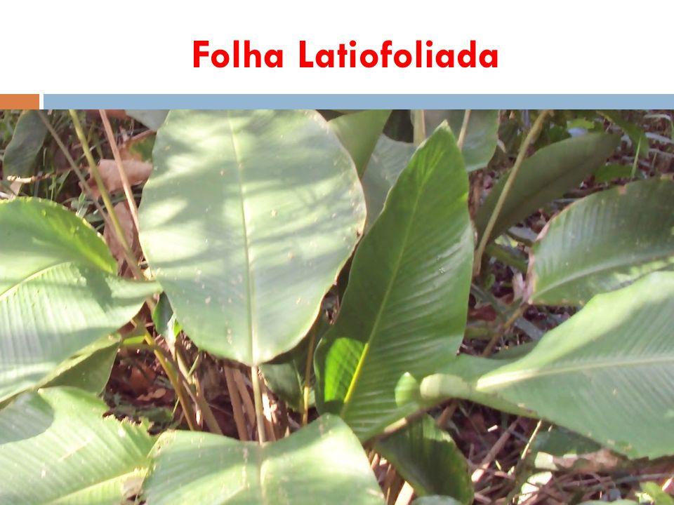 Folha Latiofoliada