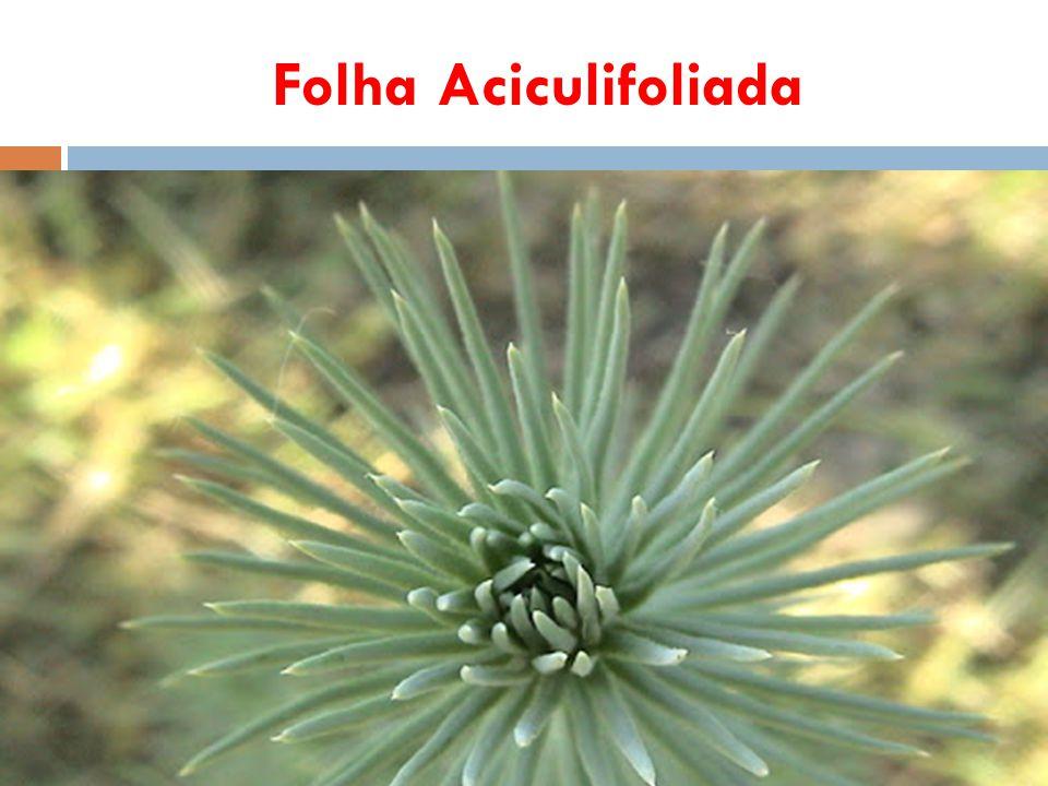Folha Aciculifoliada