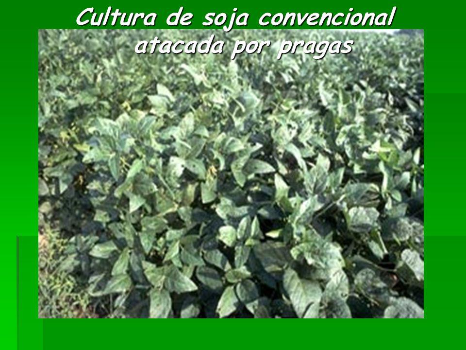 Cultura de soja convencional atacada por pragas