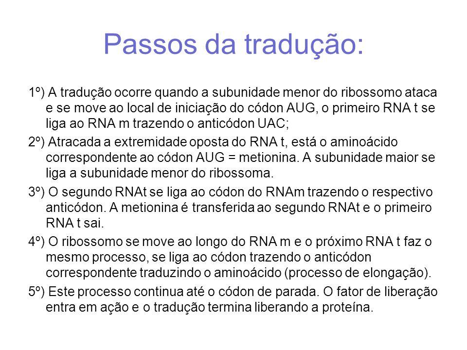Passos da tradução: 1º) A tradução ocorre quando a subunidade menor do ribossomo ataca e se move ao local de iniciação do códon AUG, o primeiro RNA t se liga ao RNA m trazendo o anticódon UAC; 2º) Atracada a extremidade oposta do RNA t, está o aminoácido correspondente ao códon AUG = metionina.