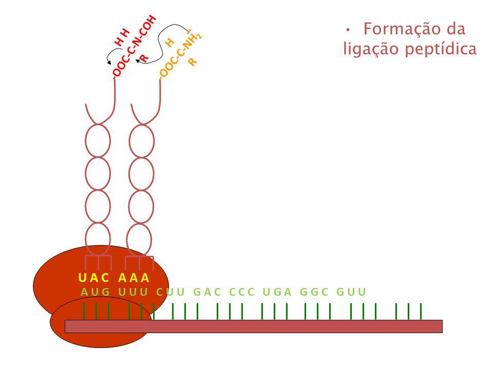 A U G U U U C U U G A C C C C U G A G G C G U U U A C A A A H -OOC-C-NH 2 R H H -OOC-C-N-COH R.. Formação da ligação peptídica